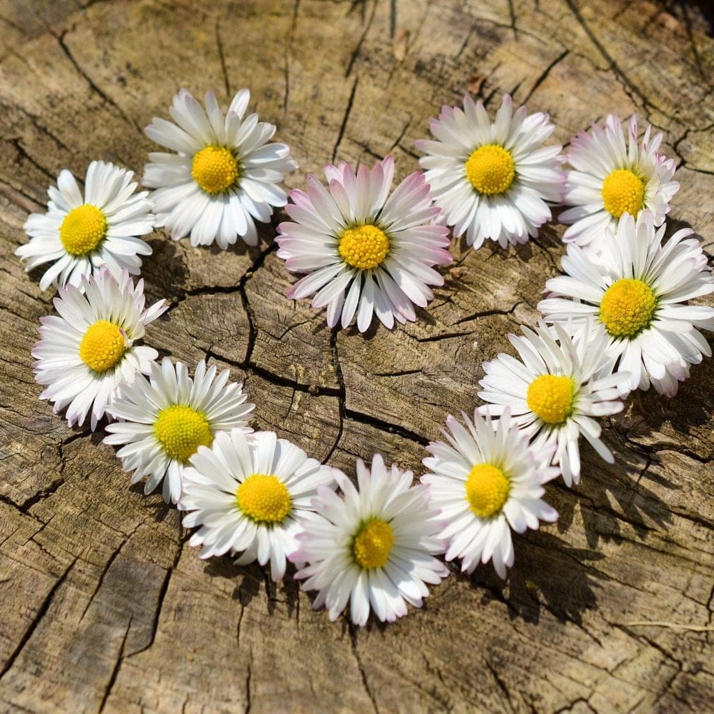 A daisy in the shape of a heart - love
